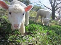 羊の赤ちゃんは、花より団子☆
