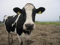 2014年5月23日 ホルスタイン種 『マカロン』 耳標NO,6909