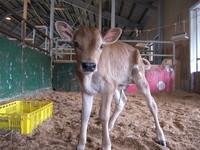 ジャージー種(乳牛)の赤ちゃんが生まれたよ☆