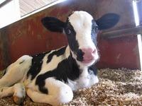 ホルスタイン種(乳牛)の赤ちゃんが生まれたよ☆