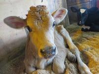 子牛がたくさん誕生しているよ♪