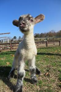 羊が生まれました~☆