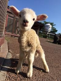 子羊が生まれました♪♪