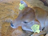 ジャージーの子牛が生まれました♪